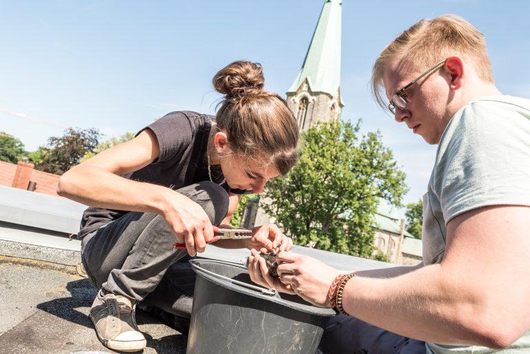 Auf dem Dach des Rathauses werden die jungen Mauersegler von Irina Würtele und Lennart Haak beringt.